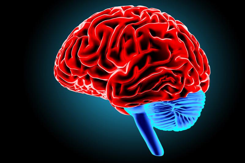 大脑的发展周期